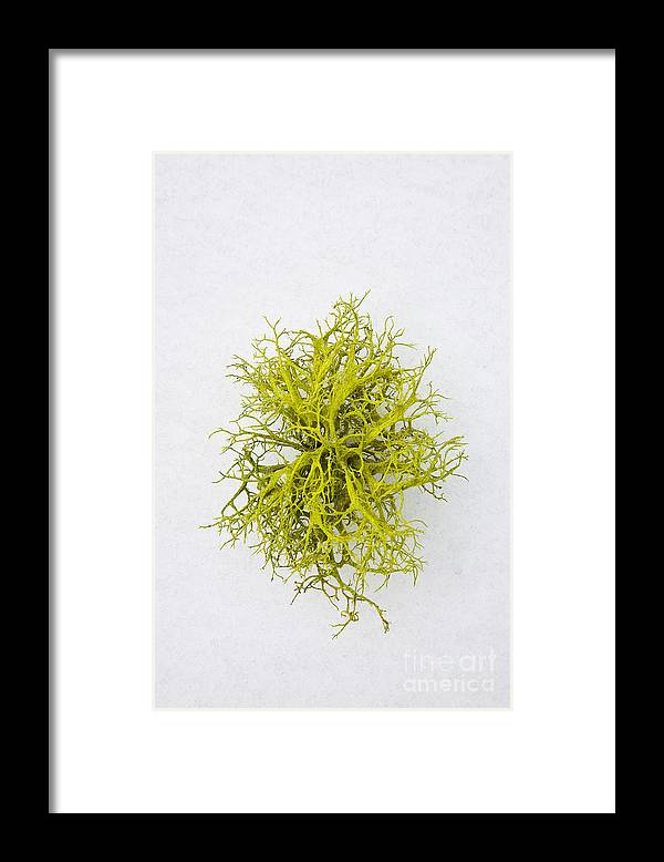 California Framed Print featuring the photograph Stag-Horn Moss by Greg Clure