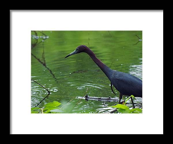 Little Framed Print featuring the photograph Stalking by Aaron Rushin