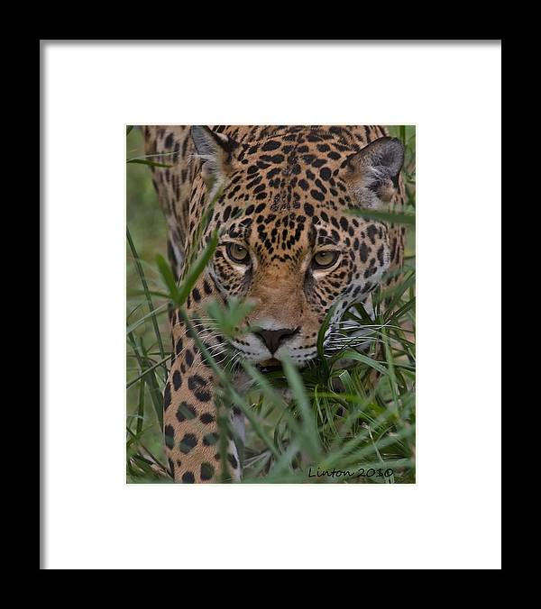 Jaguar Framed Print featuring the photograph Stalking Jaguar by Larry Linton