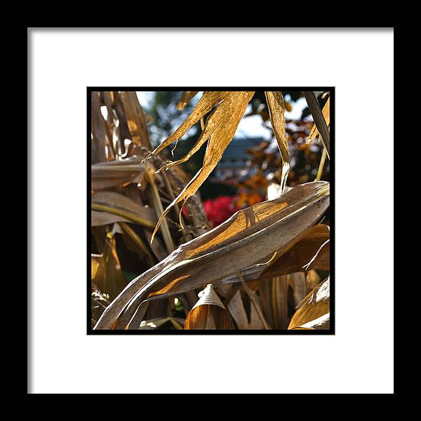Corn Stalk Framed Print featuring the photograph Stalks by Tim Nyberg