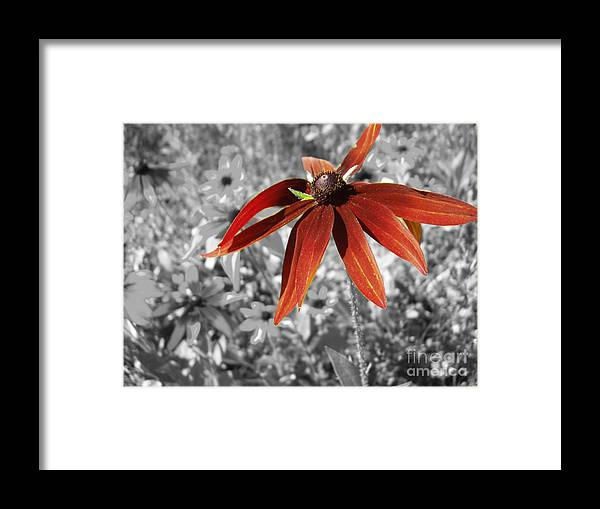 Black Eyed Susan Framed Print featuring the photograph Stand Out by Cathy Beharriell