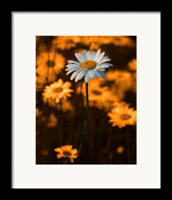 Daisy Framed Print featuring the photograph Standing Alone by Linda McRae