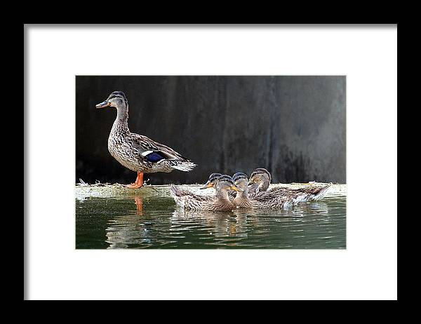 Anas Platyrhynchos; Mallard Duck; Mallard; Duck; Ducklings; Baby Ducklings; Babies; Richardson Texas; Huffines Creek; Guarding Framed Print featuring the photograph Standing Guard by Kala King