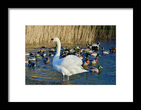 Mute Swan Framed Print featuring the photograph Standing Proud by Melanie Lewis