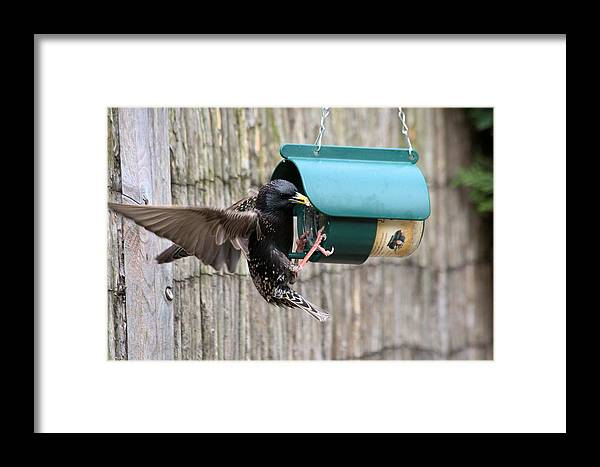 Starling On Bird Feeder Framed Print featuring the photograph Starling On Bird Feeder by Gordon Auld