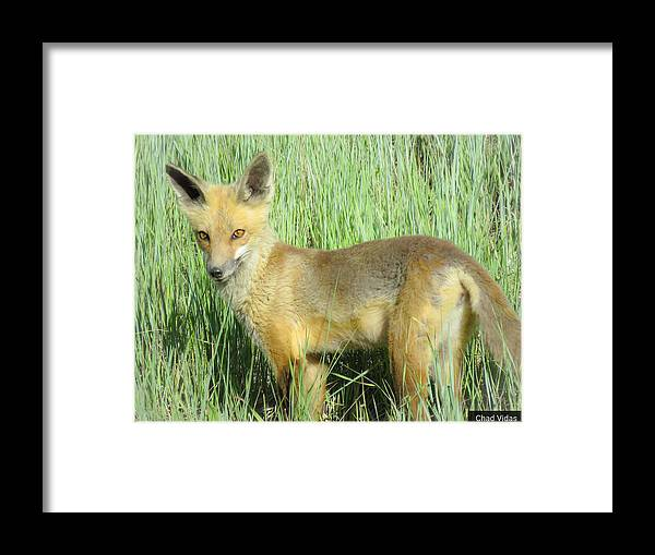 Colorado Framed Print featuring the photograph Steamboat Fox by Chad Vidas