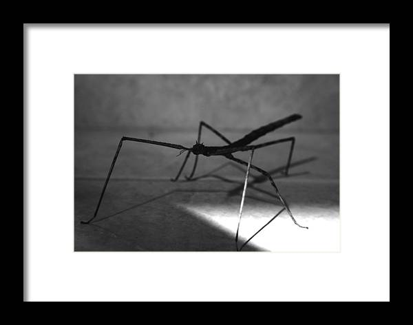 Stick Framed Print featuring the photograph Stick Bug by Tom Melo