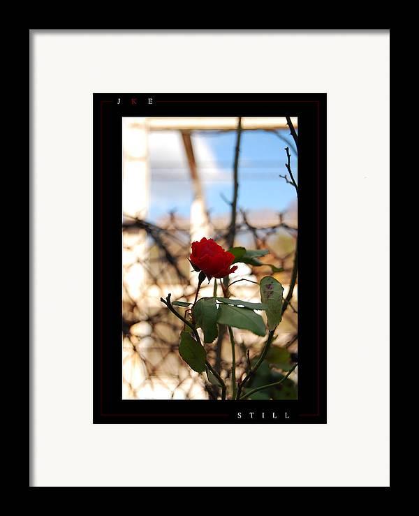 Rose Framed Print featuring the photograph Still by Jonathan Ellis Keys