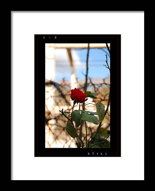 Rose Framed Print featuring the photograph Still by Jonathan Ellis Keys