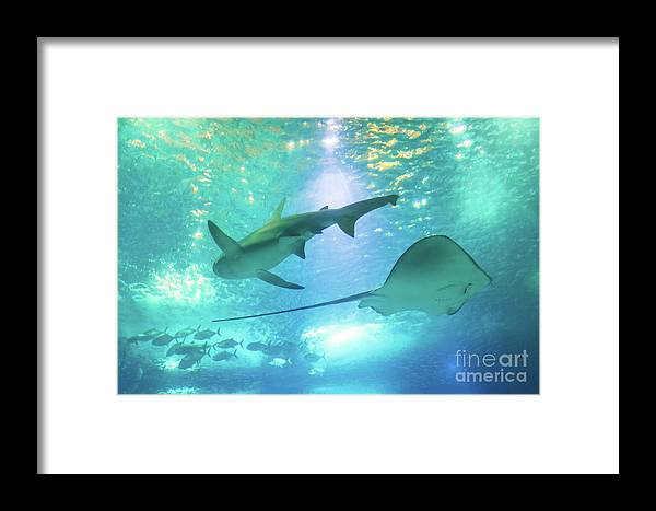Underwater Framed Print featuring the photograph Sting Ray And Shark by Benny Marty