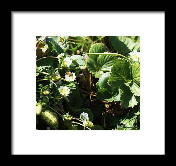 Bee Framed Print featuring the photograph Strawberry Flower And Bee by Cassandra Buckley