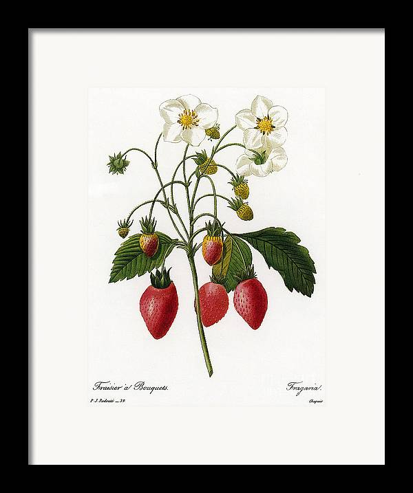 1833 Framed Print featuring the photograph Strawberry by Granger