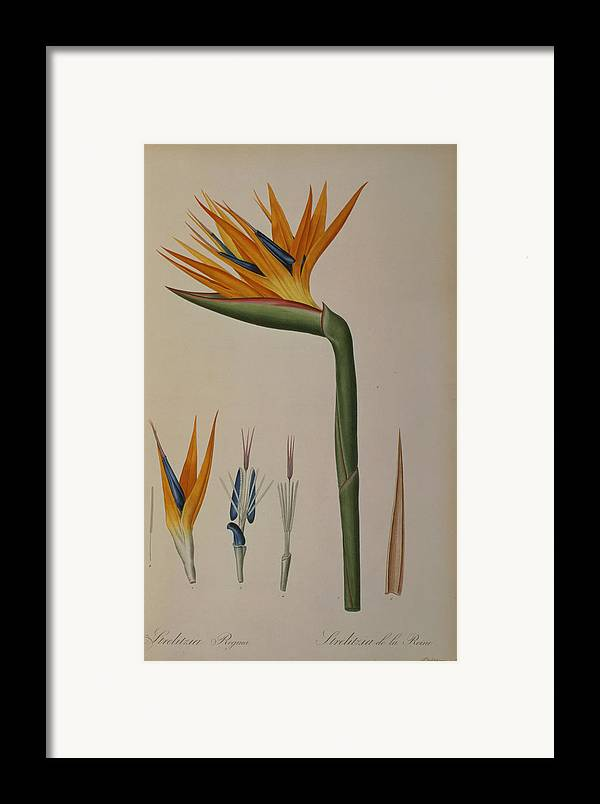 Strelitzia Framed Print featuring the painting Strelitzia Reginae by Pierre Joseph Redoute