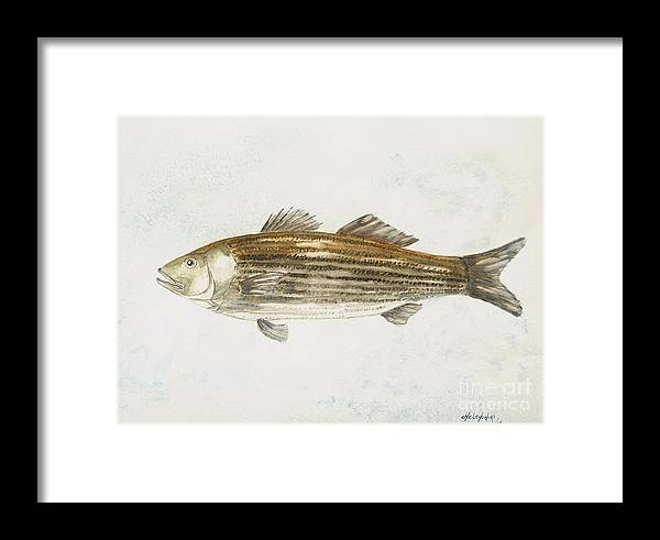 Striped Bass Fish Framed Print featuring the painting Striped Bass by Miroslaw Chelchowski