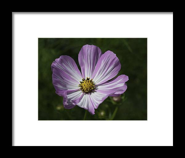 Beautiful Photos Framed Print featuring the photograph Striped Cosmos 1 by Roger Snyder