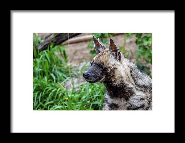 Hyena Framed Print featuring the photograph Striped Hyena by Michael Putthoff