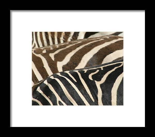 Zebra Framed Print featuring the photograph Stripes by Donald Tusa