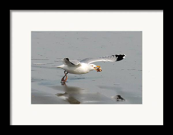 Gull Framed Print featuring the photograph Stripped Billed Gull With Shell by Alan Lenk