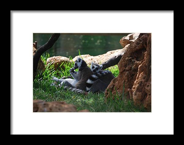 Animals Framed Print featuring the photograph Strips by Lakida Mcnair