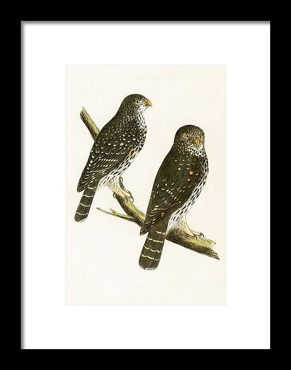 Bird Framed Print featuring the painting Strix Pusilla by English School