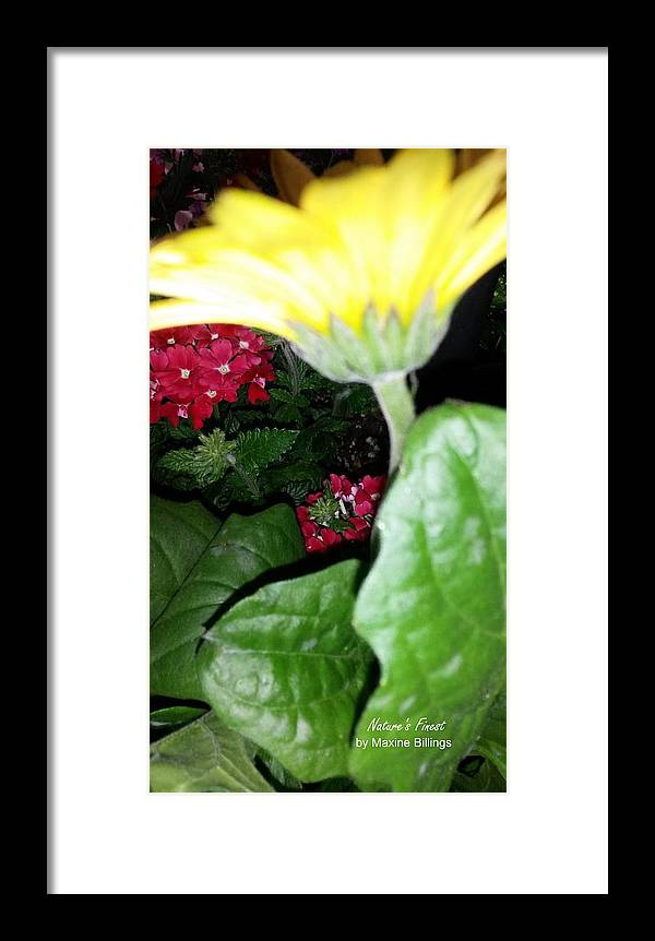 Gerber Daisies Framed Print featuring the photograph Strokes Of Yellow by Maxine Billings