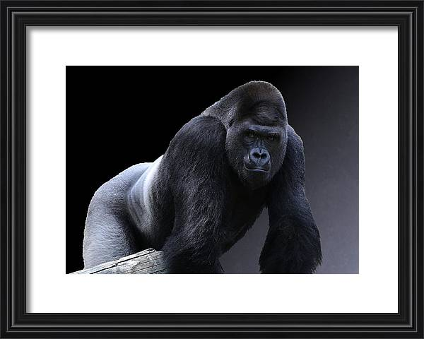 Studio Dalio - Strong Male Gorilla Framed Print
