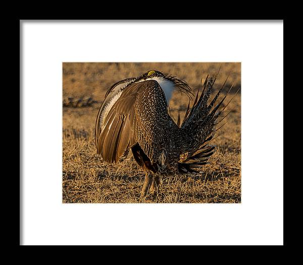Sage Grouse Framed Print featuring the photograph Strutting And Puffing by Yeates Photography