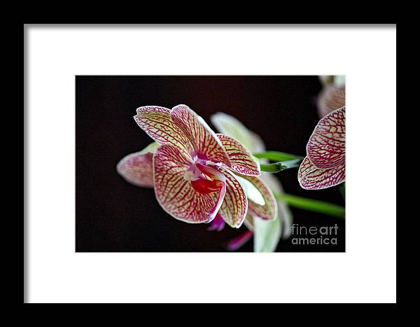 Orchid Framed Print featuring the photograph Study Of An Orchid 3 by Karin Everhart