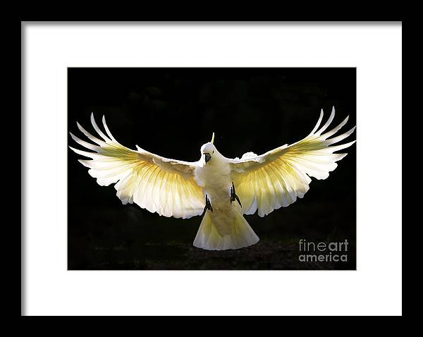 Sulphur Crested Cockatoo Australian Wildlife Framed Print featuring the photograph Sulphur crested cockatoo in flight by Sheila Smart Fine Art Photography