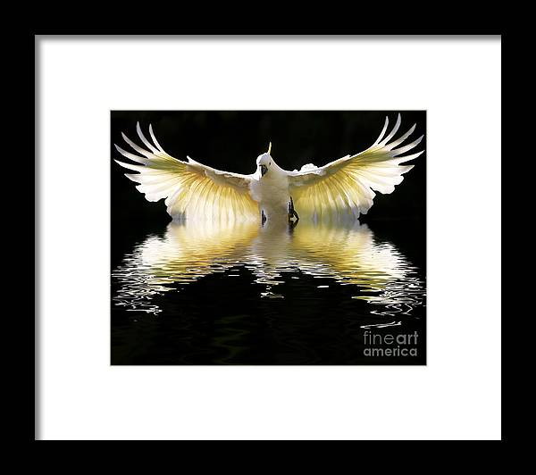 Bird In Flight Framed Print featuring the photograph Sulphur crested cockatoo rising by Sheila Smart Fine Art Photography