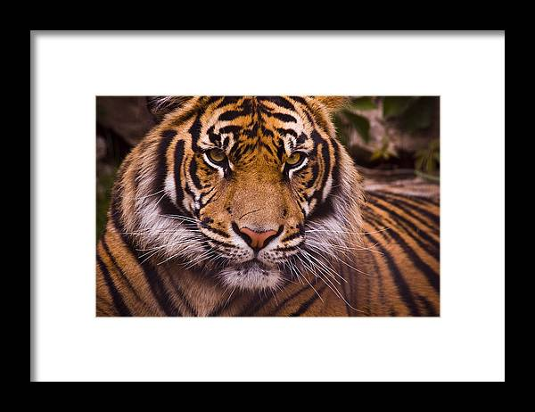 Tiger Framed Print featuring the photograph Sumatran Tiger by Chad Davis