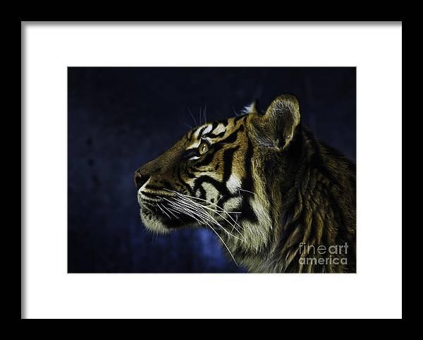 Sumatran Tiger Framed Print featuring the photograph Sumatran Tiger Profile by Sheila Smart Fine Art Photography