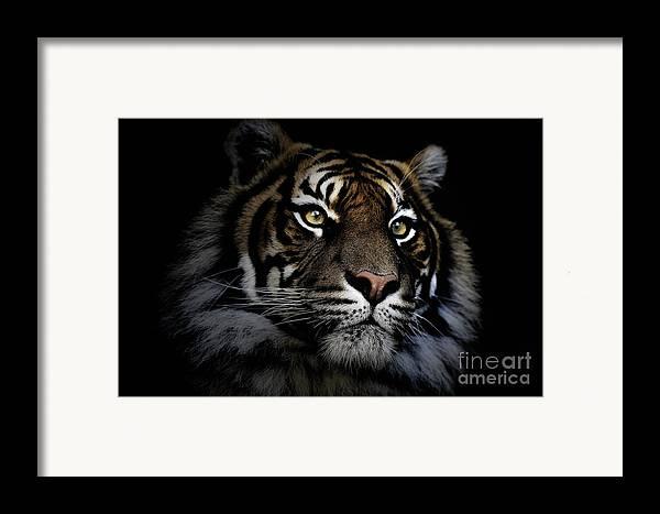 Sumatran Tiger Wildlife Endangered Framed Print featuring the photograph Sumatran Tiger by Sheila Smart Fine Art Photography