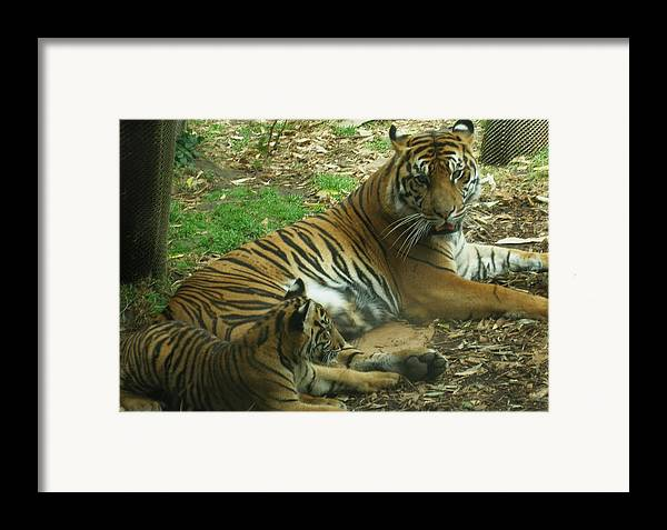 Tiger Framed Print featuring the photograph Sumatran Tigers by Travis Day