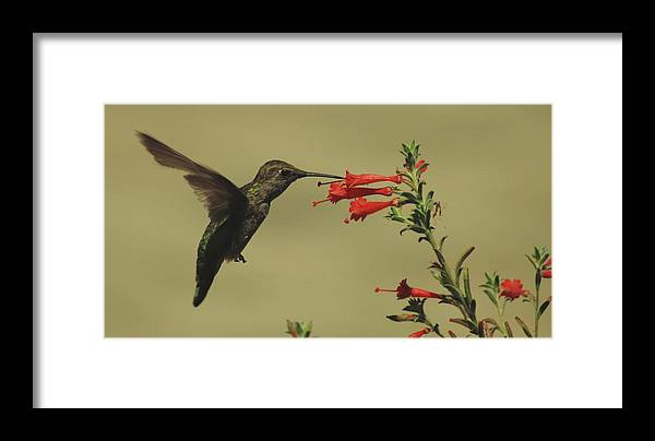 Hummingbird Framed Print featuring the photograph Summer Hummer by Lawrence Pratt