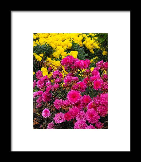 Mums Flowers Pink Yellow Summer Fall Framed Print featuring the photograph Summer Mums by Mindy Roth