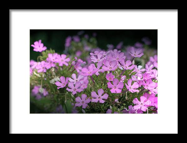 Summer Framed Print featuring the photograph Summer Phlox by Jeannie Burleson