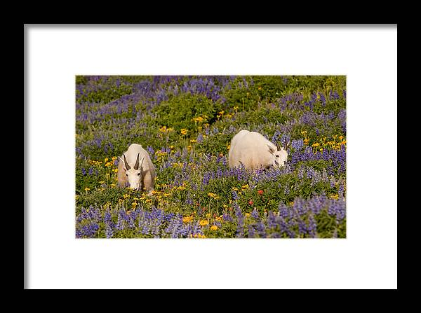Mountain Goat Framed Print featuring the photograph Summer's Bounty by Kent Keller