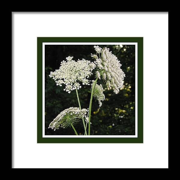 Queen Anne's Lace Framed Print featuring the photograph Summer's Delight by Ginger Howland
