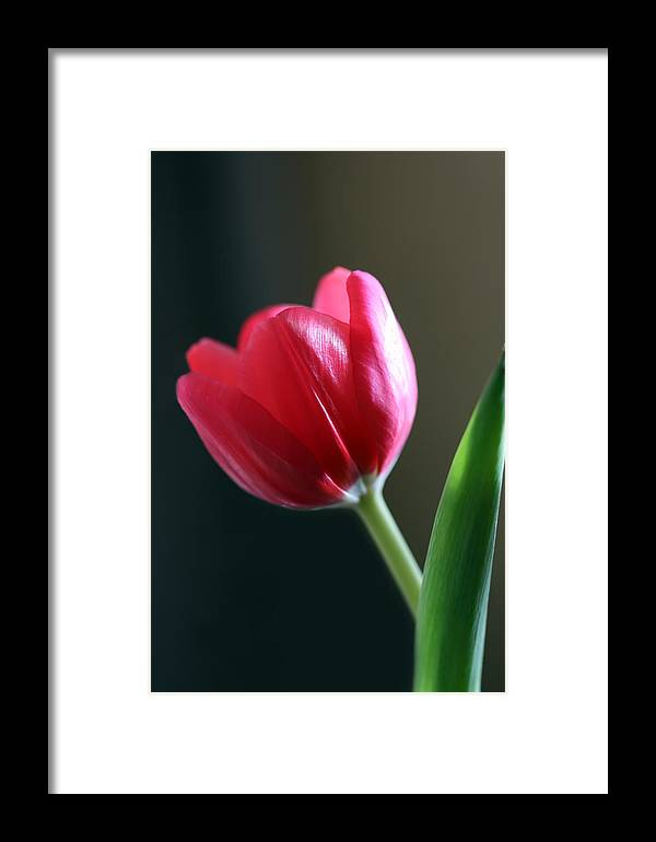 Tulip Framed Print featuring the photograph Sun Kissed Tulip I by Lesley Smitheringale
