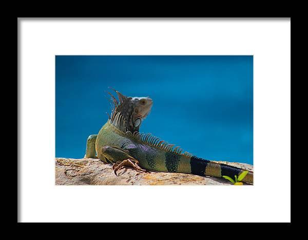 Iguana Framed Print featuring the photograph Sun Time by Joe Arwood