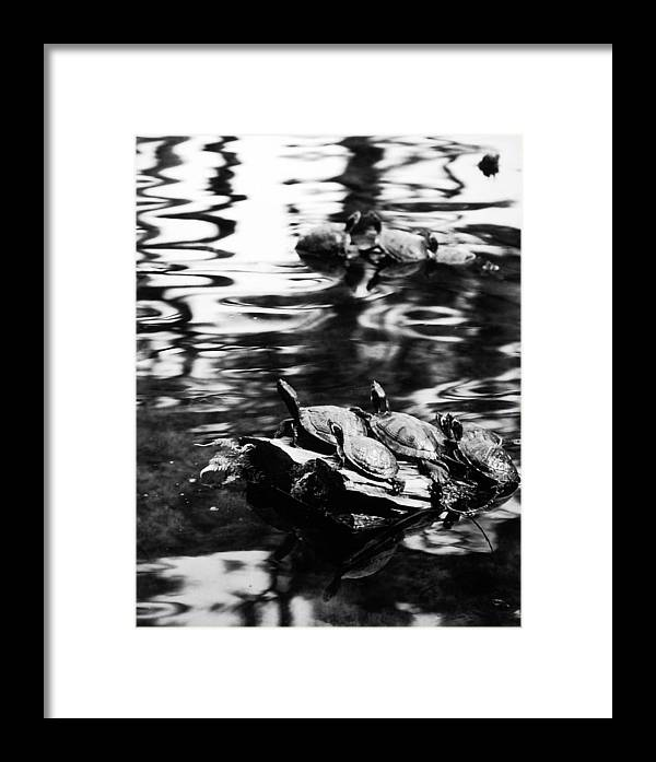 Turtles Framed Print featuring the photograph Sun Worshippers by Allan McConnell