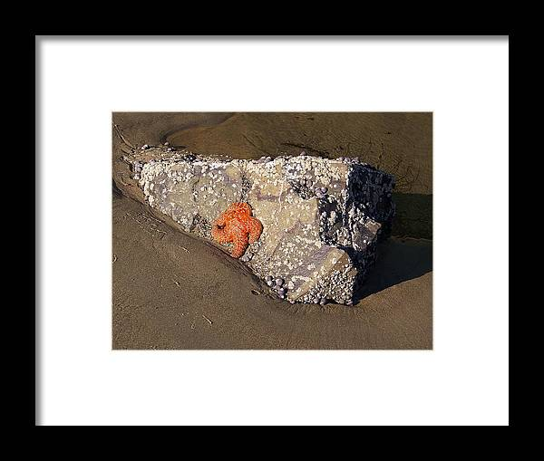 Star Fish Framed Print featuring the photograph Sunbathing by Angi Parks