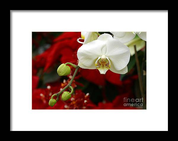 Orchid Framed Print featuring the photograph Sunday Afternoon Orchid by Steve Augustin