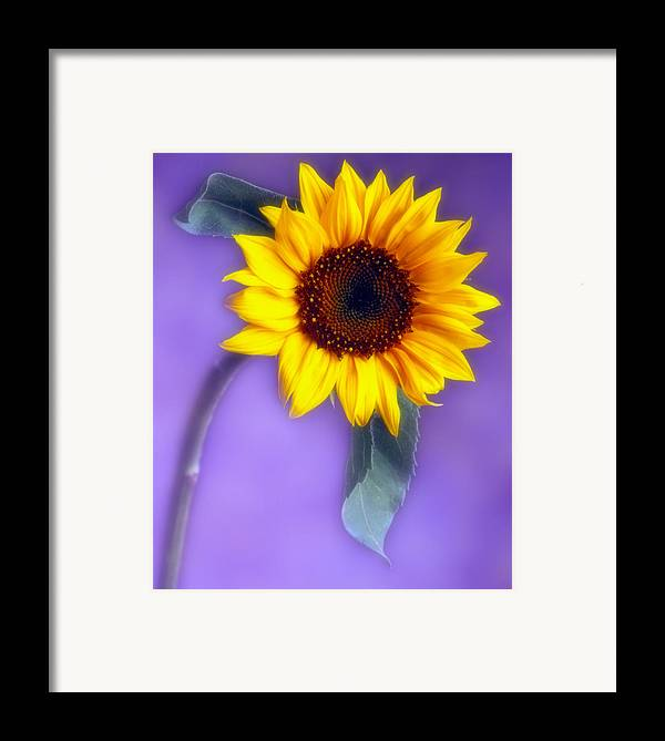 Flora Framed Print featuring the photograph Sunflower 1 by Joseph Gerges