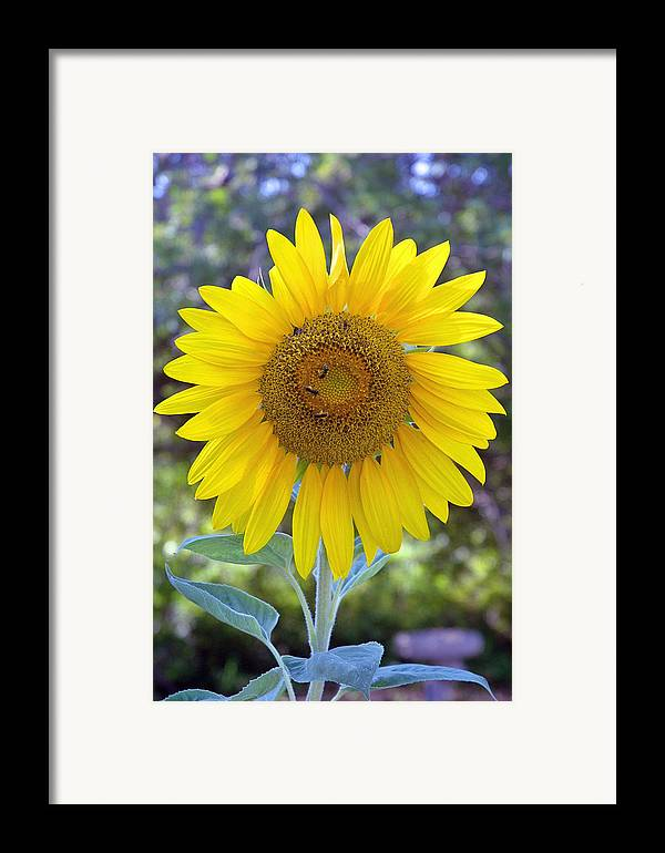 Sun .flower Framed Print featuring the photograph Sunflower 1 by Mickie Boothroyd