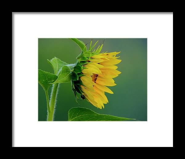 Sunflower Framed Print featuring the photograph Sunflower 2017 2 by Buddy Scott