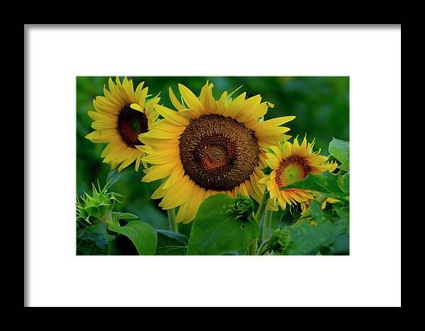Sunflower Framed Print featuring the photograph Sunflower 2017 9 by Buddy Scott