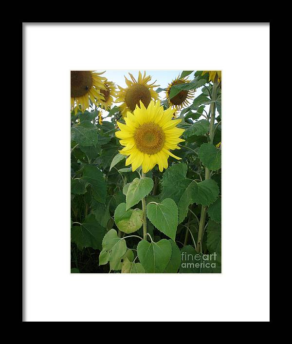Sunflower's Framed Print featuring the photograph Sunflower Amungst Sunflower's by Chandelle Hazen