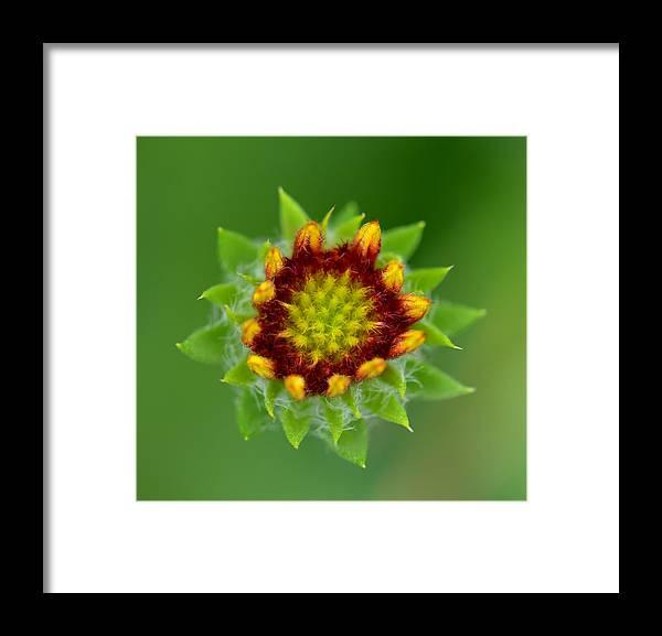 Sunflower Framed Print featuring the photograph Sunflower Bud by Reva Steenbergen